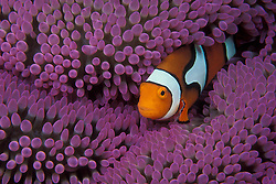 """The same species as animated film star """"Nemo"""", a Clown Anemonefish, Amphiprion percula, snuggles among the tentacles of its host anemone.  Milne Bay, Papua New Guinea, Pacific Ocean"""