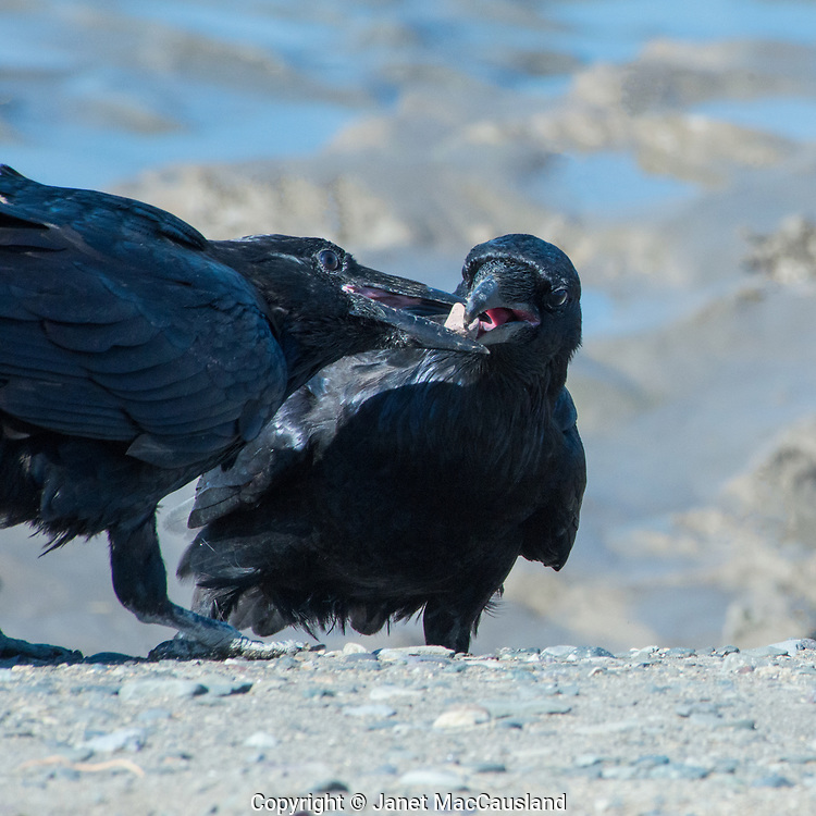 Corvids are smart, and exhibit this with play. The Raven on the left had this stone, and he would allow the other raven to almost take it from him, but then kept control. They went through this game a couple of times, and then repeated it with a small stick.