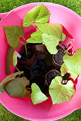 Runner beans 'Polestar' being soaked in plastiuc trugs before planting out