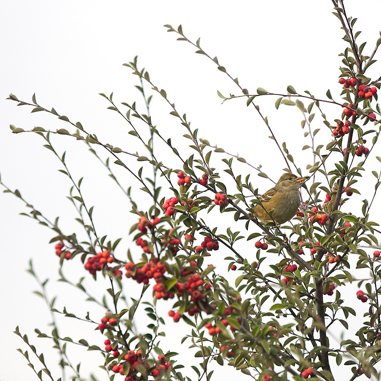 birds gorge on the winter pyracantha berries