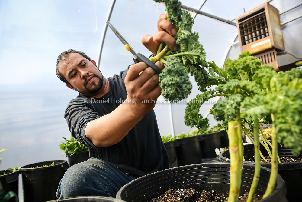 (4/6/15, WESTBOROUGH, MA) Wilson Martinez harvests some kale from the greenhouse at Harvey's Farm and Garden Center in Westborough on Monday. Daily News and Wicked Local Photo/Dan Holmes
