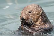 sea otter, Enhydra lutris ( Endangered Species ), eating mussels, Valdez, Alaska ( Prince William Sound )