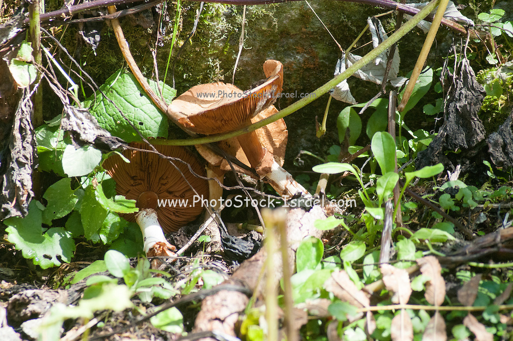 Alpine Mushroom Austria, Tyrol, Hohe Tauern National Park