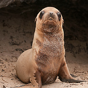 A baby Galapagos Sea Lion (Zalophus californianus wollebaeki). Ecuador