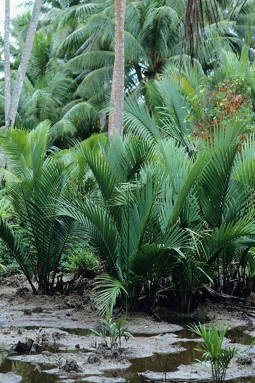 Nipa, NIpi, palm, roof thatching,Yap, Wa`ab, Waqab, Federated States of Micronesia, islands in the Caroline Islands