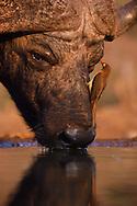 African buffalo or Cape buffalo (Syncerus caffer), Zimanga Private Nature Reserve, KwaZulu Natal, South Africa