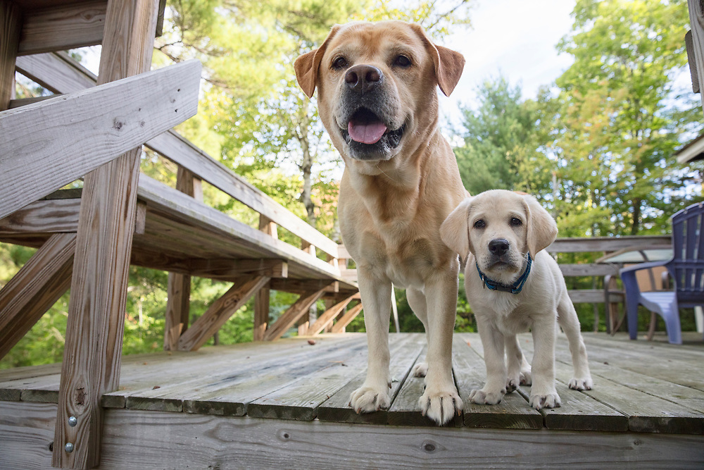 Adult and puppy labrador retrievers standing on a deck