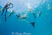 snorkeler dives to touch reef manta ray, Manta alfredi (formerly Manta birostris ), feeding on plankton while dodging an abundance of tourists, Hanifaru Bay, Hanifaru Lagoon, Baa Atoll, Maldives ( Indian Ocean )