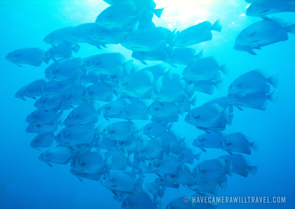 An underwater shot of a school of fish from below silhouetted against the sun shining from the surface of the water. Taken off Vanuatu.