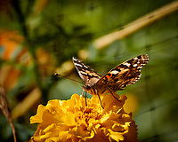 Painted Lady Butterfly on a Yellow Flower. Autumn Backyard Nature in New Jersey. Image taken with a Nikon 1 V3 camera and 70-300 mm VR telephoto zoom lens (ISO 160, 300 mm, f/5.6, 1/640 sec).