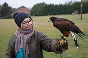 Birds of prey on show during a falconry display near Stratford-upon-Avon, England, United Kingdom. Here a Harris Hawk is on the falconers glove with a member of the public on the falconry morning.