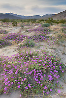 Desert Sand Verbena.(Abronia villosa) Sonoran Desert, Anza-Borrego State Park California