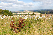 Wildflowers chalk grassland vegetation Inkpen Hill looking north over countryside, Berkshire, England, UK