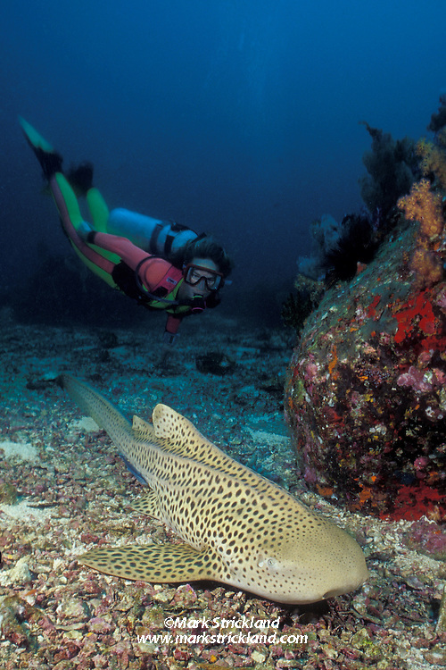 Diver Suzy Forman observes a Zebra Shark, Stegostoma fasciatum, resting on the bottom.  Although adults are covered with spots, the common name refers to zebra-like coloration of the juveniles. Mergui Archipelago, Burma/Myanmar, Andaman Sea, Indian Ocean