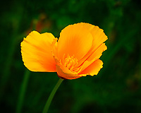 Yellow California Poppy flower.  Image taken with a Fuji X-H1 camera and 200 mm f/2 lens + 1.4x teleconverter (ISO 200, 280 mm, f/5.6, 1/420 sec)