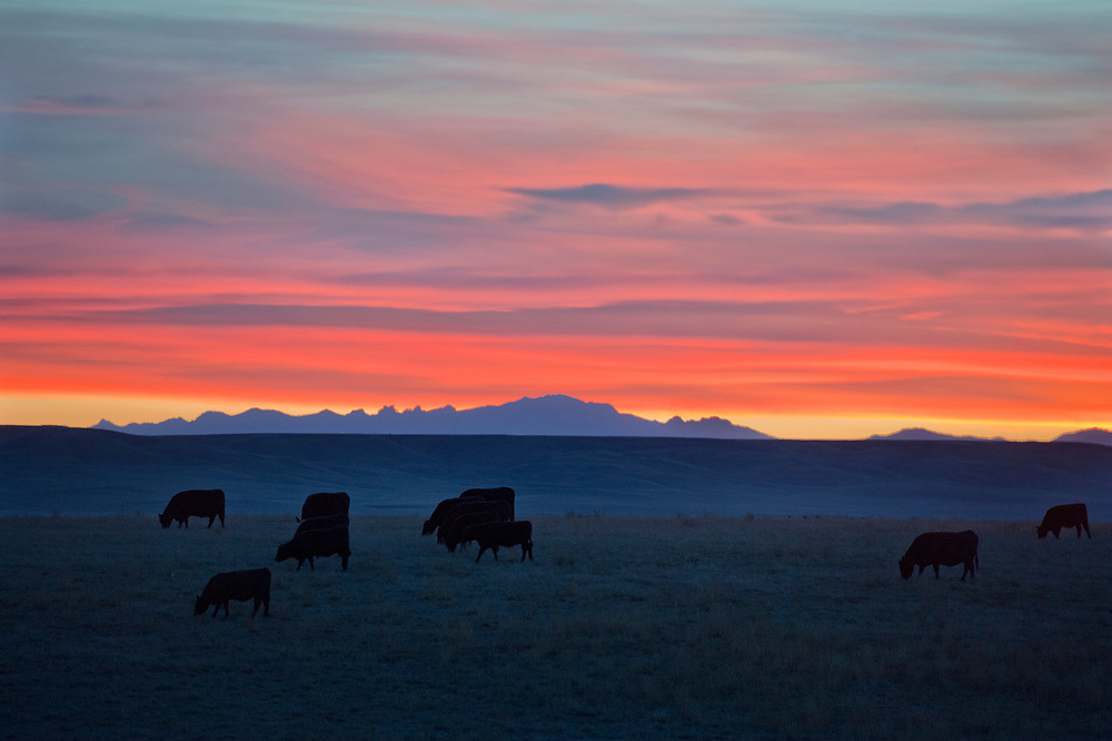 A small herd of cows graze along fields as the sun sets in the distance over the black hills.