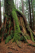 Tree roots growing over old growth stump, Redwood Park, Arcata, Humboldt County, California