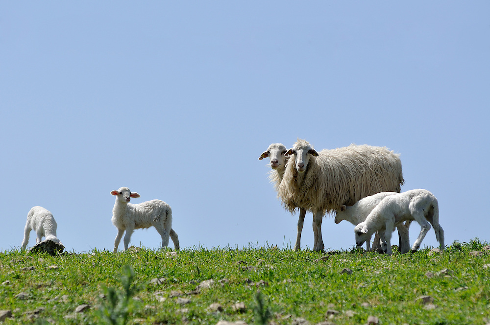 Sheep grazing in Sicily, Italy.