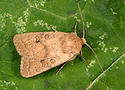 Close-up of a Rustic moth (Hoplodrina blanda) resting on a leaf in a Norfolk garden in summer