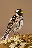 Lapland Longspur - Calcarius lapponicus - breeding male