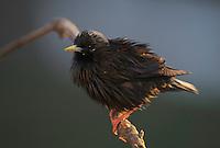 Spotless starling, Sturnus unicolor, La Serena, Extremadura, Spain