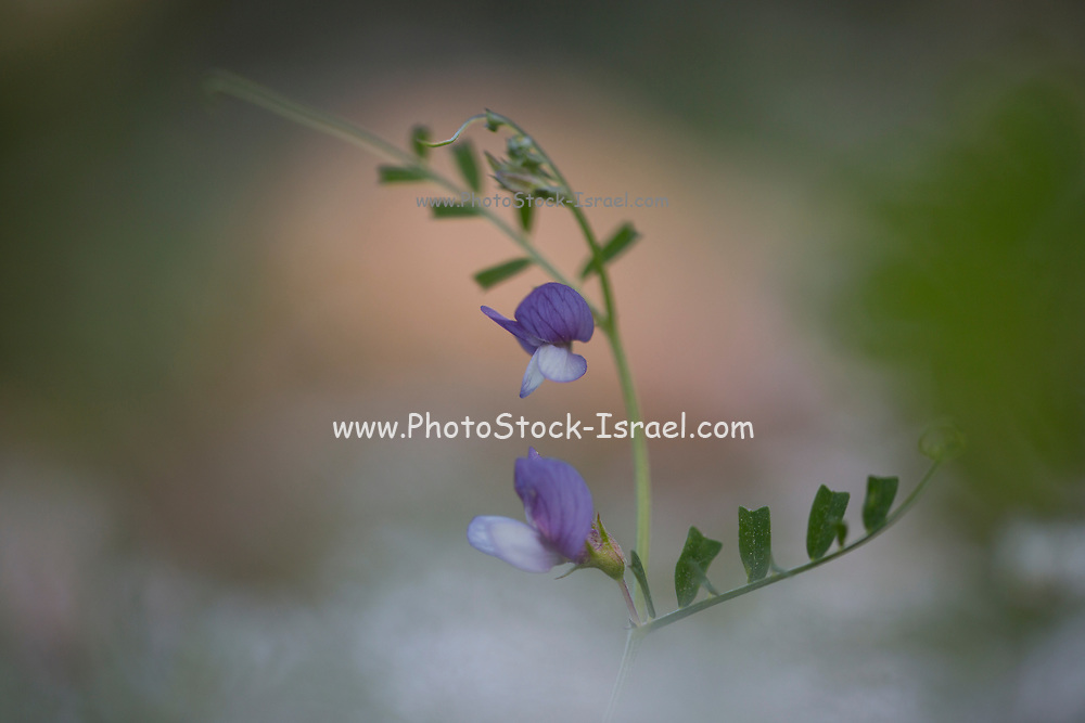 Flowering Vicia palaestina wildflower. This flower is part of the legume family (Fabaceae), which are commonly known as vetches. Photographed in Israel in March