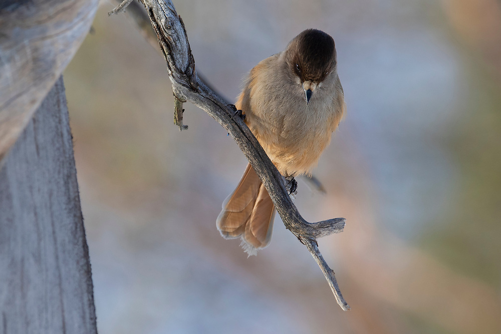 Siberian jay, Perisoreus infaustus, Pasvik National Park, Finnmark, Arctic Norway