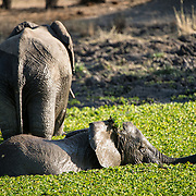 A pair of elephants swim in a reed-covered small lake at Tarangire National Park in northern Tanzania not far from Ngorongoro Crater and the Serengeti.
