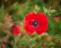 Red Poppy. Image taken with a Leica SL2 camera and 60 mm f/2.8 TL lens.