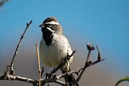 Black-throated Sparrow (Amphispiza bilineata) in Sabino Canyon Recreation Area, Coronado National Forest, Santa Catalina Mountains, Arizona