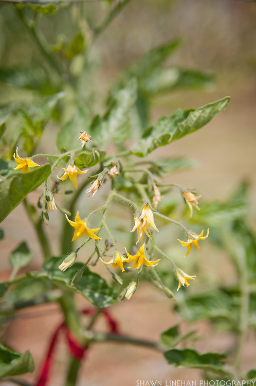 A young tomato plant with many flowers in the garden.