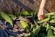 27 JULY 2020 - CARLISLE, IOWA: A volunteer reaches for an ear of sweet corn to pack it for Eat Greater DSM on the Butcher Creek Farm in Carlisle. Volunteers from Eat Greater DSM gleaned sweet corn in the fields on the farm. The corn was packaged and will be distributed to Des Moines emergency pantries, community centers, and churches this week. Gleaning is the act of collecting leftover crops from farmers' fields after they have been commercially harvested or gathering crops from fields where it is not economically profitable to harvest. It is an ancient tradition first described in the Hebrew Bible. A spokesperson for Eat Greater DSM said food assistance need has skyrocketed this year. In a normal year, they distribute about 300,000 pounds of food. Since the start of the COVID-19 pandemic in March, they've distributed more than 500,000 pounds of food.           PHOTO BY JACK KURTZ