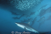 copper shark or bronze whaler, Carcharhinus brachyurus, and long-beaked common dolphins, Delphinus capensis, feed in a baitball of sardines, Sardinops sagax, during the annual Sardine Run up the east coast of South Africa ( Indian Ocean )