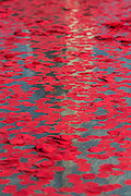 Wreathes and poppies are thrown into the fountain by schoolchildren and family members as a mark of remembrance - Silence in the Square oraganised by the British Legion in Trafalgar Square  - 11 November 2016, London.