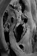 Deceased yew trunk (Taxus baccata). Druids Grove, Norbury Park, Surrey, UK.