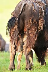 Bison calf nursing, Yellowstone National Park