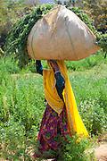 Indian woman villager working at farm smallholding carrying animal feed at Sawai Madhopur near Ranthambore in Rajasthan, India..