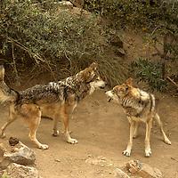 North America, Americas, USA, United States, Arizona. Mexican Gray Wolves at the Arizona-Sonora Desert Museum.