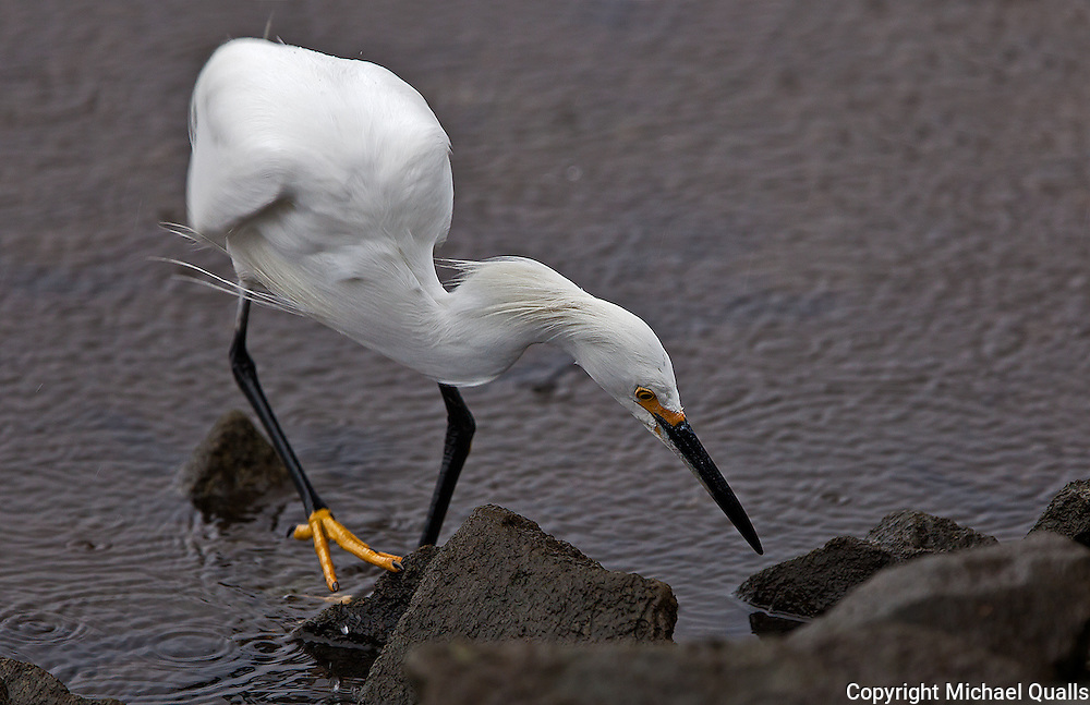 Snowy Egret - Hunting.  Image #1 in a sequence of four.  Just before the grab!