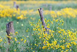 Engelmann's daisies and fence posts in Blackland Prairie remnant at Frankford Church and Cemetery, Dallas, Texas.