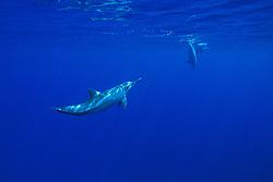 long-snouted spinner dolphins, Stenella longirostris, off Kona Coast, Big Island, Hawaii, Pacific Ocean