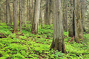 Old growth in inland temperate rain forest on Giant Cedars Trail <br /> Mount Revelstoke National Park<br /> British Columbia<br /> Canada