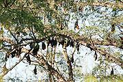 Madagascar fruit bat or flying fox, Pteropus rufus, Berenty National Park, Madagascar, group roosting in tree