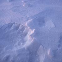 Polar bear and sled dog tracks.