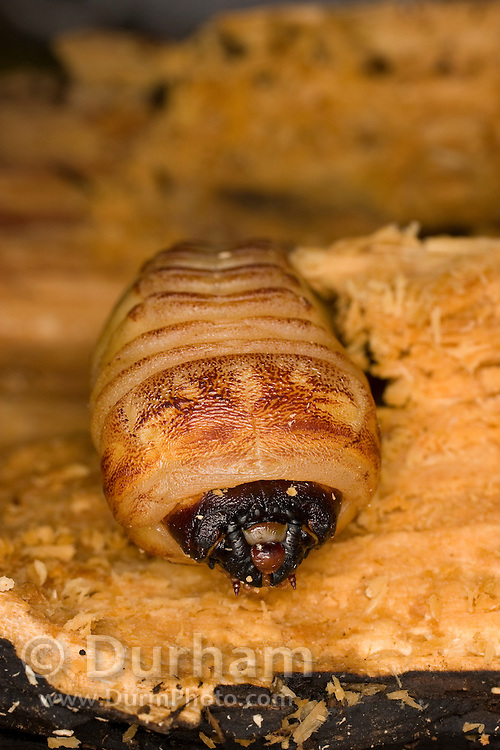 A giant root borer beetle (Prionus californicus) boring through decaying soft wood. Colevlle National Forest, Washington. These beetle larva typically attack the roots and root ball of trees. They are considered a forest pest as they often kill the trees they infest