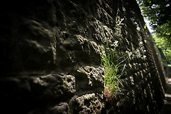 Grass growing on a stone wall near the 14th century Saint Quirin chapel, Luxembourg.