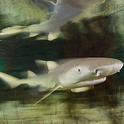 A lemon shark (Negaprion brevirostris) pup in a mangrove nursery in The Bahamas.