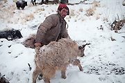 A winter Wakhi shepherd, Yak milking. In Zardibar. .Trekking back down from the Little Pamir, with yak caravan, over the frozen Wakhan river.