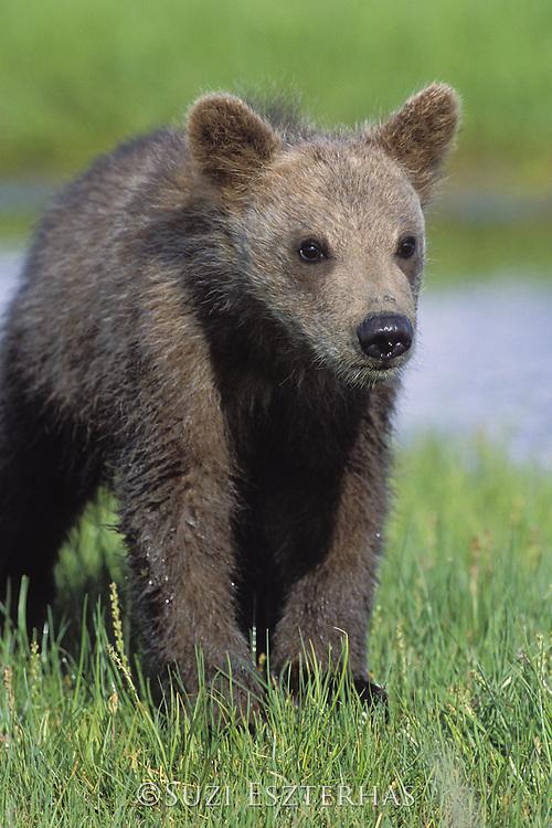 Alaskan Brown Bear<br /> Ursus arctos middendorffi<br /> Playful 3 month old cub(s)<br /> Katmai National Park, Alaska