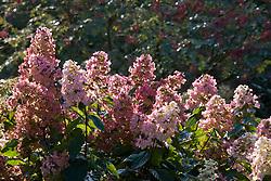 Hydrangea paniculata 'Pink Diamond' AGM syn. 'Interhydia'